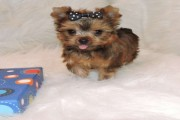 Golden Teacup Yorkie Puppies Available For New Hom