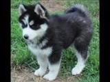 Siberian Husky Puppies ready to go,,,,,,,,,,,,,,,,