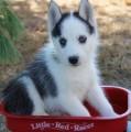 Beautiful Registered Siberian Husky Pups for adopt