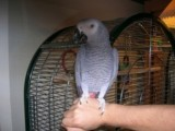 male and female African greys with cage parrots