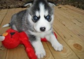 2 New Siberian Husky Puppies with Blue Eyes For Re