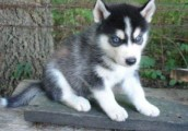 Cute Siberian Husky Puppies with Blue Eyes For Re