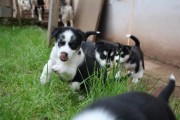 kc Pure Breed Siberian Husky Puppies