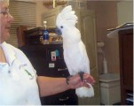 Umbrella Cockatoos Available For New Homes