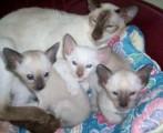 We have a beautiful litter of F1B white Siamese ki