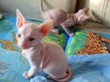 Cute Sphynx Kittens Available For Sale