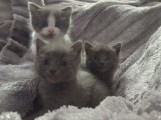 Hand Raised Russian Blue Kitten for Caring Home88
