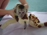 Intelligent Male and Female Capuchin monkeys for A
