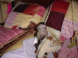 Gorgeous Female Capuchin Monkey   Small, cute and