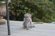 Top quality baby capuchin monkeys   Top quality b