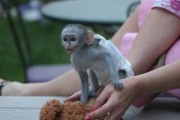 Tamed Capuchin Monkeys   Can make a good and love