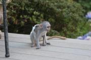 Female White Faced Capuchin Monkeys   White faced
