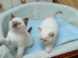 Rag doll Kittens for adoption Contact (jasonblere9
