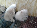 Persian kittens For adoption Contact (jasonblere9@