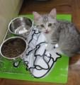 Home Raised British Short Hair Kittens Now Availab