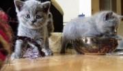 Britsh shothair kittens