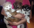 RARE SAMOYED MIX PUPPIES