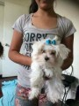 teacup maltese puppy ready to go