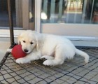 Golden Retriever puppy - Male