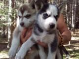 Cute All White Husky pups