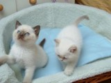 Cute Male And Female Ragdoll Kittens