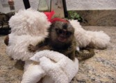 Marmoset Monkey available for sale