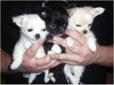 Good looking Beutifull Chihuahua Puppies for Rehom