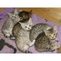 Females and Males Bengal kittens ready for their n