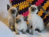 2 Siamese Kittens for sale Six beautiful kittens F