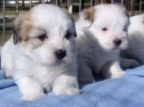 Kc Registered Coton Puppies Ready Now
