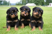 Ready Now Gorgeous Chunky Kc Reg Rottweiler Puppie