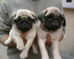 Stunning Pug Puppies For Sale