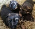 Genetic Tested German Shepherd Puppies