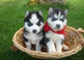 Blue Eyed Male And Female Siberian Husky Puppies F