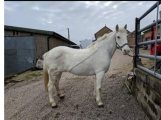 Playful cob Horse Available for sale to good homes