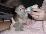 Charming Male And females Capuchin Monkeys for sal