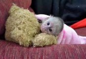 Hand Raised Capuchin Monkey for Sale