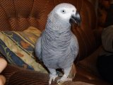 Hand Raised and Talking Pair of African Greys Parr