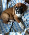 Purebred Boxer Puppies Available for sale