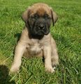 Magnificent Mastiff Puppies Available for sale.