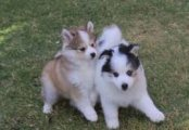 Gorgeous Male and Female Pomsky Puppies for sale