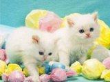 We have 4 Beautiful white Persian female kittens f