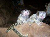 Pygmy marmoset monkeys available for sale