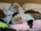 Very healthy and cute Capuchin monkeys for sale
