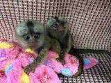 Cute baby pygmy Marmoset Monkeys For SALE.