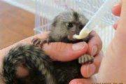 Emotional Marmoset Monkeys Available for sale