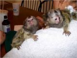 Trained male and female Marmoset Monkeys for sale