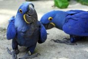 Dna Tested Pair Of Hyacinth Macaws parrots for sal