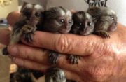 Nice Male and female Marmoset monkeys babies ready