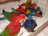 Good Looking Macaw Parrots For Sale